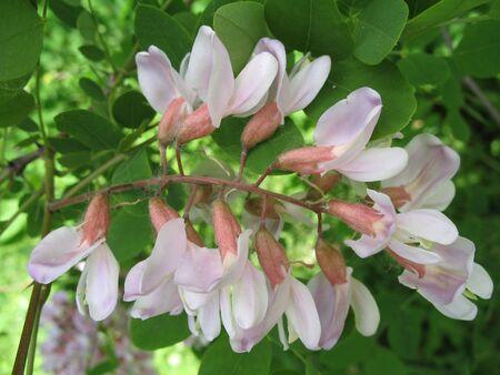 a blooming locust