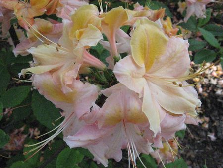 light-coloured rhododendron flowers Stock Photo