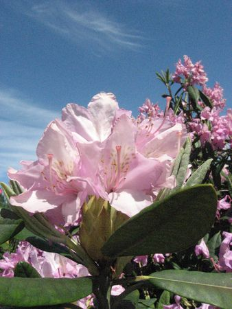 a rhododendron with the sky in the background