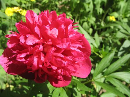pion: a pion in the garden