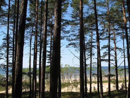 tall pines near the beach Stock Photo