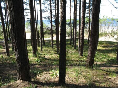 tall pines near the seashore