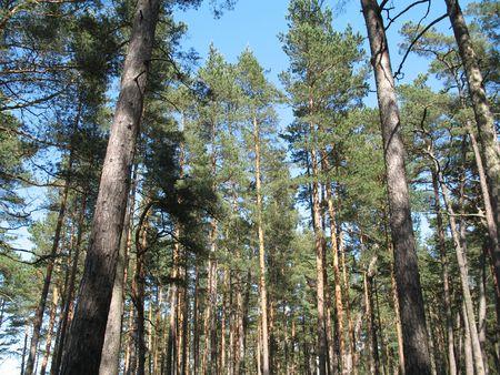 tall pines growing towards the sky
