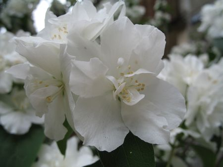 a white jasmine Stock Photo