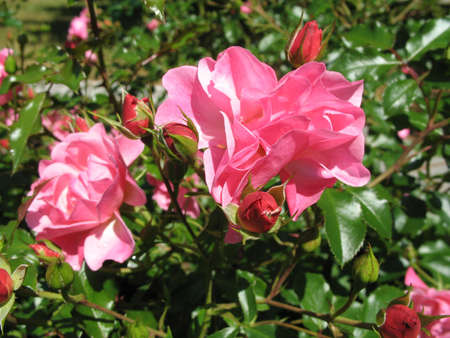 some roses in the garden
