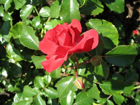 a single rose on the green background formed of leaves Stock Photo