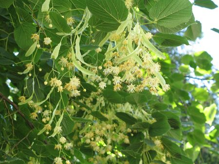 a flowers of linden