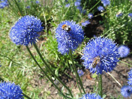 spheric: blue spheric flowers