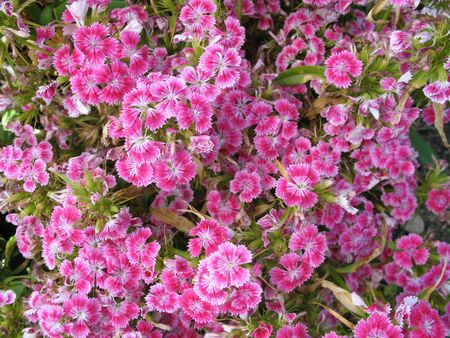 magenta flowers: a cluster of small magenta flowers Stock Photo