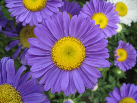 bright purple blossoming flowers