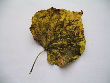limetree: a linden leaf