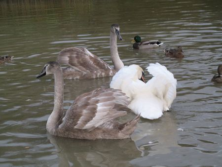 two young swans and one senior photo