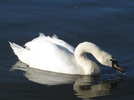 a white swan drinking the water photo