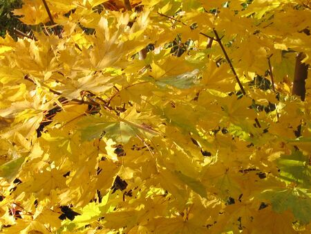 autumn: yellow maple leaves