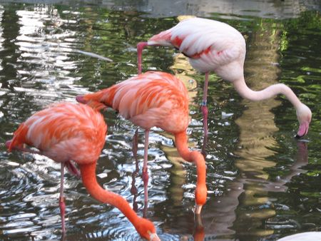 flamingos in the pond photo