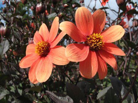 Dalia en el jardín  Foto de archivo - 2590447