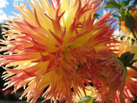 dahlia in the garden Stock Photo - 2590691