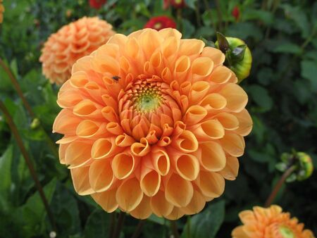 dahlia in the garden photo