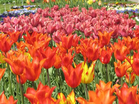 field of tulips photo