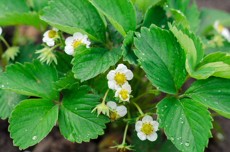peepal: Green Strawberry leaves with flowers background in the garden Stock Photo