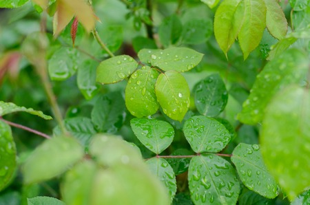 pipal: Green leaves background in the early morning