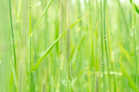 spring green: Close up of fresh thick grass with water drops in the early morning