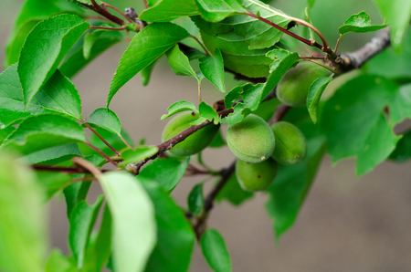 peepal tree: Green plum leaves background in wild nature