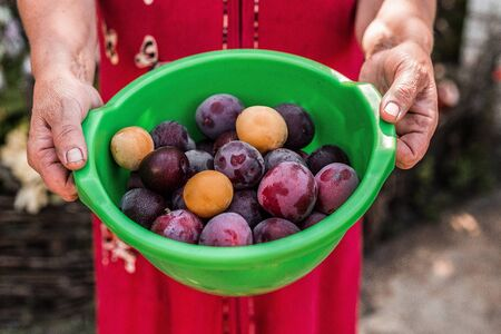 Old womans hand holding green plastic bowl with purple and yellow plums in a orchard. Plum harvest. Farmers hands with freshly harvested fruits
