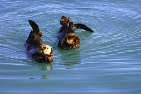 Otters entertain tourists in a bay near Seward, Alaska