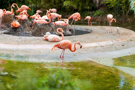 Pink flamingo standing in water with reflection, zoo