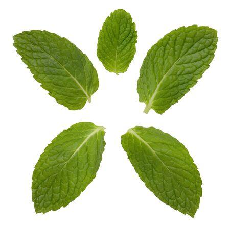 mint leaves: Mint Leaves Stock Photo