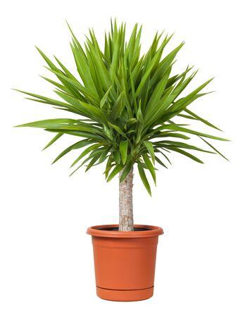 Yucca Potted Plant geïsoleerd op een witte achtergrond Stockfoto