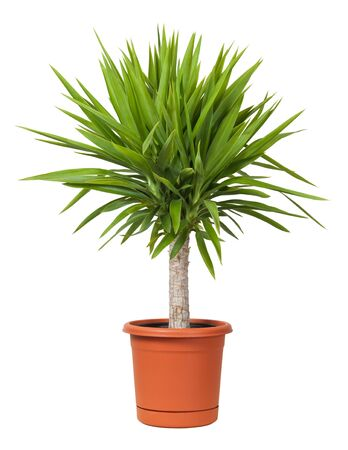 Yucca Potted Plant isolated on a white background Stock Photo