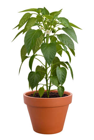 clay: Pepper Plant in a pot isolated on a white background
