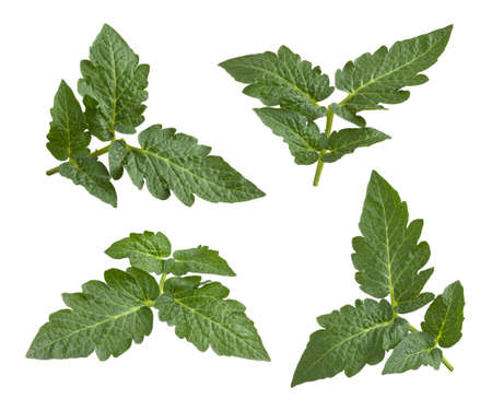 Tomato Leaves isolated on a white background Stock Photo