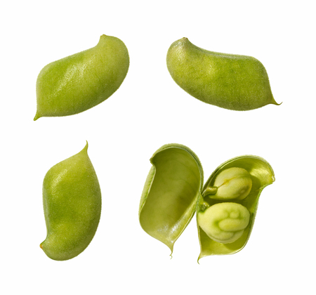 garbanzo bean: Garbanzo Bean Pods. These nutritious legumes can be cooked, and are high in protein and fiber. One Bean is split open, showing the seed. The image is a cut out, isolated on a white background.