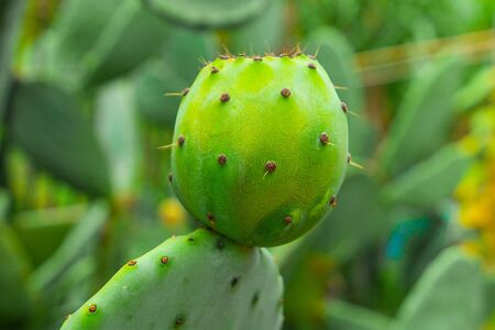 Prickly pear cactus with green fruits close-up.