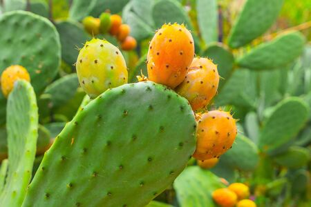 Prickly pear cactus with orange fruits close-up. 写真素材 - 132049096