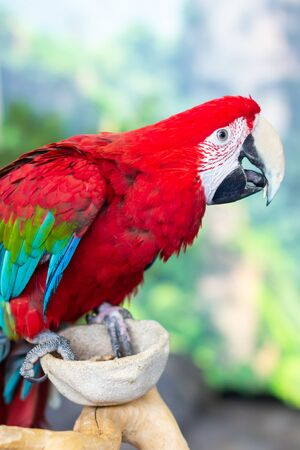 Portrait of colorful Scarlet Macaw parrot. Stock Photo