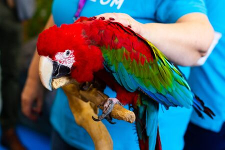 Close up of colorful scarlet macaw parrot and woman's hand.