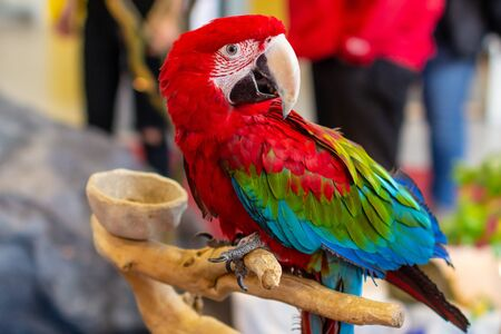 Portrait of a beautiful colorful Ara Scarlet Macaw parrot close up Stock Photo