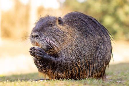 Nutria, Myocastor coypus or river rat the wild near the river. Stock Photo