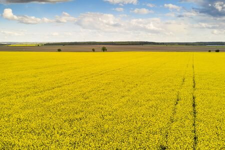 Agricultural landscape of a rapeseed field with line and blue sky. Biofuel production concept. Postcard with copy space