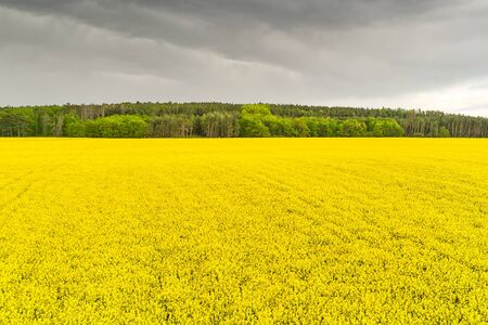 Storm in a rapeseed field and forest. Heavy clouds under yellow flowers of rapeseed. Agriculture and biofuel production concept with copy space.