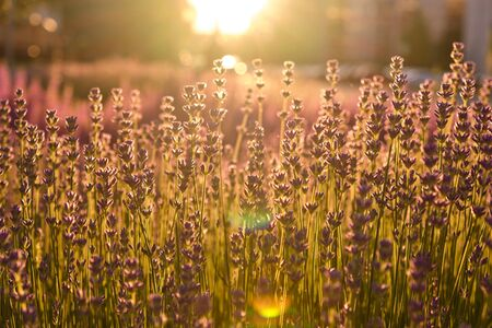 Amazing lavender field at sunset. Lavandula in blossom in summer. Growing purple flowers with copy space Foto de archivo - 149402047