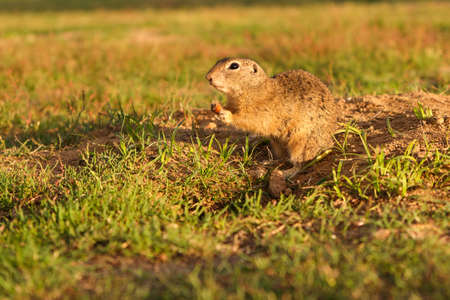 European ground squirrel standing in the field. Wildlife scene from nature.