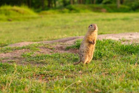 European ground squirrel standing in the field. Wildlife scene from nature.