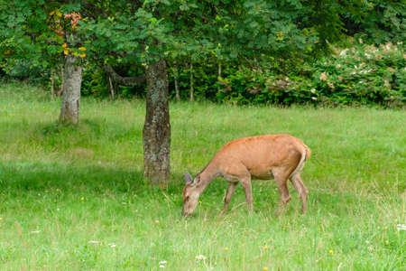 Family of deer grazing in a meadow with green grass. Deer eating in the forest. Wildlife concept Foto de archivo