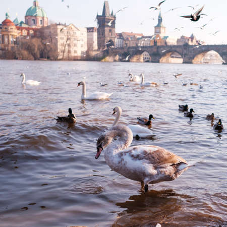 A white swan in the river Vltava on the background of Charles Bridge in Prague.