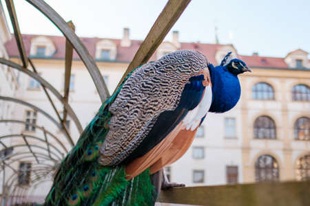 Beautiful peacock with a long tail and crest on the head sitting on the fence.